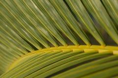 Palmträdblad fotografering för bildbyråer