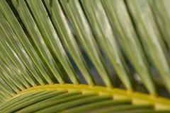 Palmträdblad arkivbilder