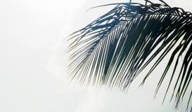 Palmträdblad med en ljus vit/grå himmel royaltyfria bilder