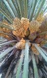 Palmträdblommor Arkivfoto