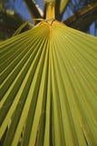 Palmträddetalj Royaltyfri Bild