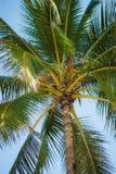 Palmträden av Hawaii Arkivfoton