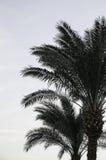 Palmträdet Royaltyfria Foton