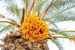 Palmträdet gömma i handflatan frukter - data, Israel arkivbilder