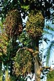 Palmträdet kärnar ur Royaltyfria Bilder