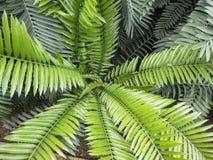 Palmträdet lämnar ² ÐΜрх у för  Ð för ² Ð¸Ð Ñ för den Encephalartos hildebrandtiien Ð Fotografering för Bildbyråer