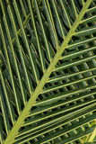 Palmträdet lämnar bakgrund Royaltyfri Bild