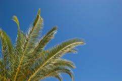 Palmträdet lämnar stående högväxt mot en bakgrund för blå himmel Royaltyfri Fotografi