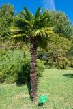 Palmträdet som planteras av herr Radames Costa i parkera- arbo Royaltyfri Bild