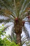 Palmträdet som växer på den, daterar Royaltyfri Foto
