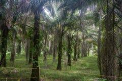 Palmträdkoloni var det fanns en gång rainforesten Kuching, Borneo i Malaysia Arkivbilder