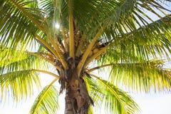Palmträdkrona med kokosnötter Solig dag på den tropiska ön Kokosnöten gömma i handflatan skugga med solpanelljusfotoet Fotografering för Bildbyråer