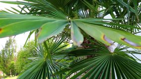 Palmträdsidor på en solig bakgrund i en trädgård lager videofilmer