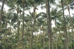 Palmträdskog, kokospalmer/treetops Royaltyfri Fotografi