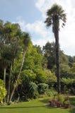 Palmträdträd i den Abbotsbury trädgården Royaltyfri Bild