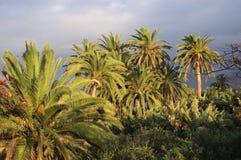Palmtr?d och molniga himlar fotografering för bildbyråer