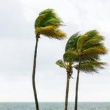 Palmträd i den tropiska stormen, Fort Lauderdale, USA Fotografering för Bildbyråer