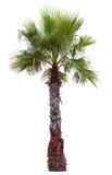 Palmträd med en stor krona Royaltyfri Bild
