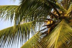 Palmträd med kokosnötter. Royaltyfria Bilder