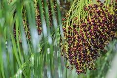 Palmträd och mogna mutterfrukter Arkivbild