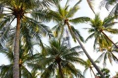 Palmträd - perfekta palmträd Arkivfoto
