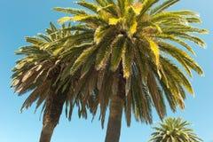 Palmträd - perfekta palmträd mot en härlig blå himmel Arkivbild