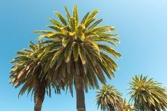 Palmträd - perfekta palmträd mot en härlig blå himmel Arkivfoto
