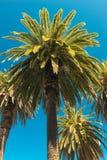 Palmträd - perfekta palmträd mot en härlig blå himmel Arkivbilder