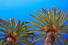 Palmtree Stock Afbeelding