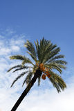 Palmtree. Against blue sky background royalty free stock images