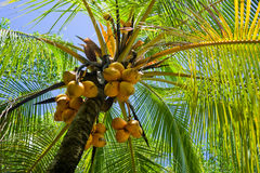 Palmtree. Image of the palmtree with yellow coconuts Royalty Free Stock Photo