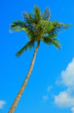 Palmtree. On the blue sky royalty free stock image