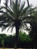 Palmtree Стоковое фото RF