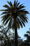 A palmtree against the blue sky Stock Photos