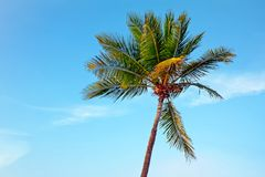 Palmtree against a blue sky Royalty Free Stock Photos