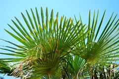 Palmtree with bleu sky. Tropical palmtree with bleu sky at background stock images
