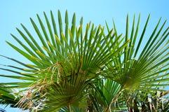 Palmtree con el cielo del bleu Imagenes de archivo