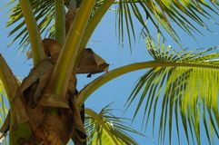 Palmtree. Cuba palmtree coconut tree Royalty Free Stock Image