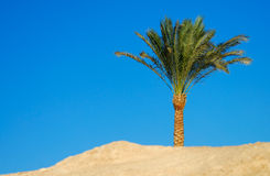 Palmtree in dessert Royalty Free Stock Image