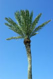 Palmtree en fondo azul Imagen de archivo