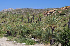 Palmtree forest at Crete island, Greece Royalty Free Stock Images