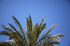 Palmtree in fornt of blue sky Stock Photography