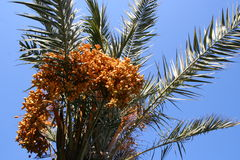 Palmtree with fruits. Palm tree with orange fruits, against a clear blue sky Stock Photo