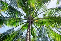 Palmtree in Indonesia Asia. Palmtree close up in Indonesia Asia Royalty Free Stock Photo