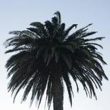 Palmtree met heldere blauwe erachter hemel Royalty-vrije Stock Foto's