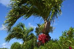 Palmtree met rode zaden Stock Afbeeldingen