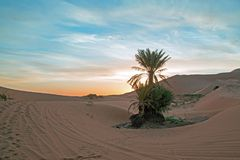 Palmtree in the middle of the Sahara desert in Morocco at sunris Royalty Free Stock Photos