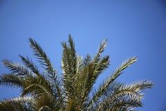 Palmtree nel fornt di cielo blu Fotografia Stock