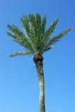 Palmtree op blauwe achtergrond Stock Afbeelding