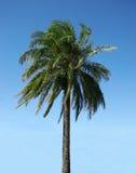 Palmtree op een duidelijke dag stock afbeelding